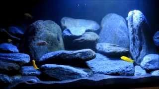 540 Liter Malawi Aquarium Neueinrichtung Doku