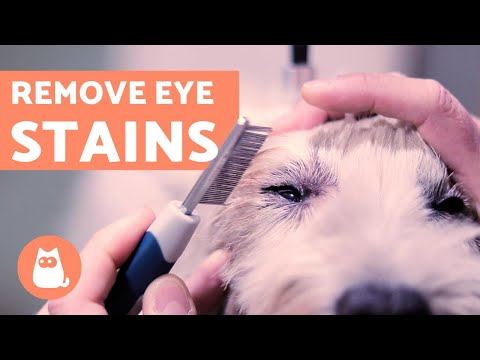 How to Clean a Dog's EYE STAINS - Ocular Hygiene