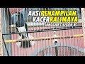 Aksi Penampilan Kacer Kalimaya Raih Juara Runner Up Sanggar Cilegon Bc  Mp3 - Mp4 Download