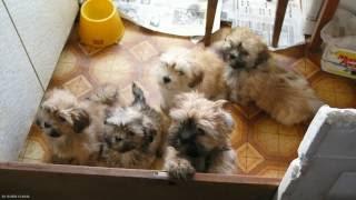Фото посещения Питомника декоративных собак породы лхаса апсо «Олд Томарктус»
