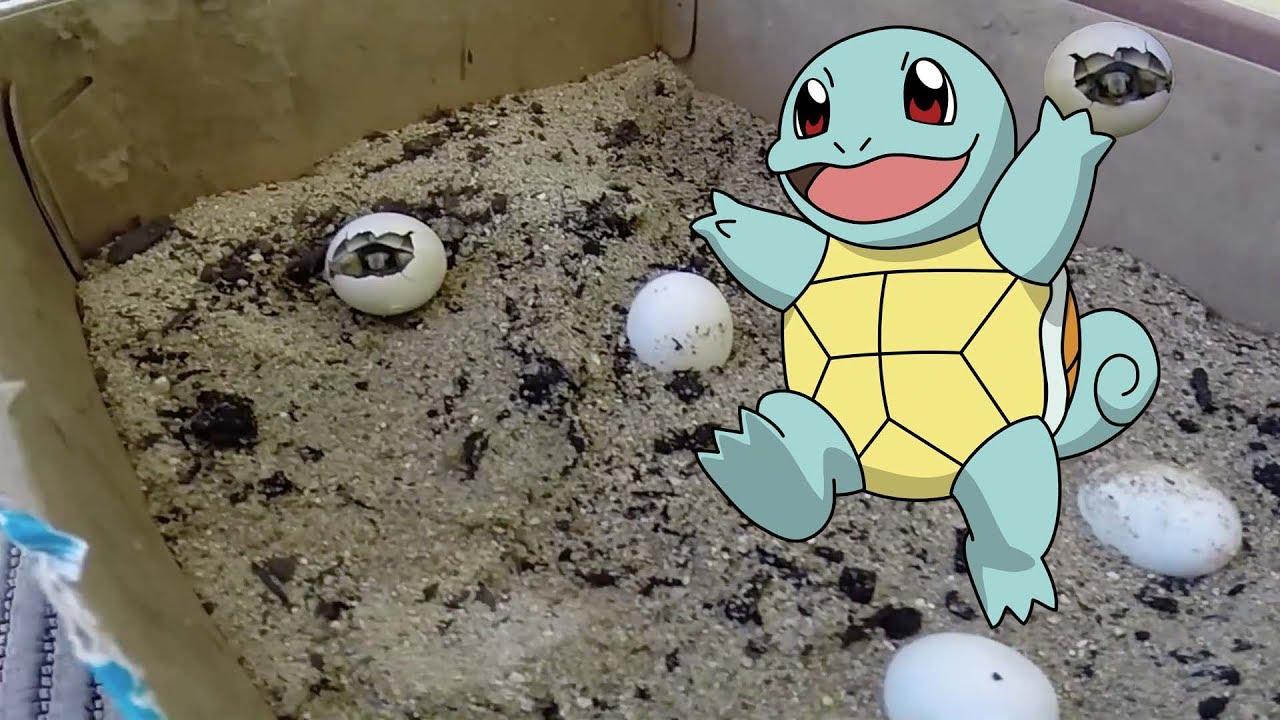 Baby turtle born nascita tartaruga di terra doovi for Terra per tartarughe di terra