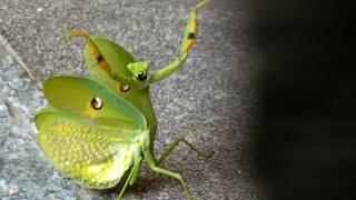 Ozzy Man Reviews: Mantis vs Cat