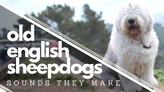 40 Old English Sheepdog Sounds┃Ed&Mel