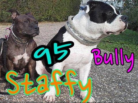 American bully&Staffy 95 val D'oise