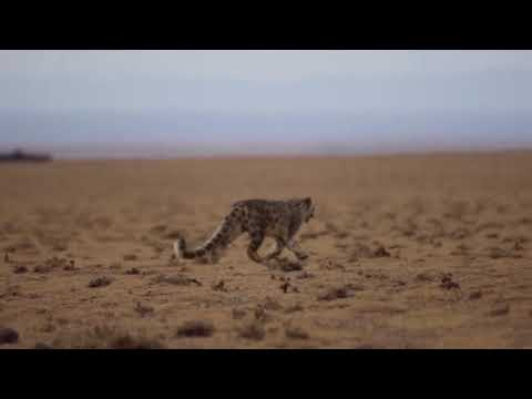Snow leopard in the steppe. Credit WWF-Mongolia