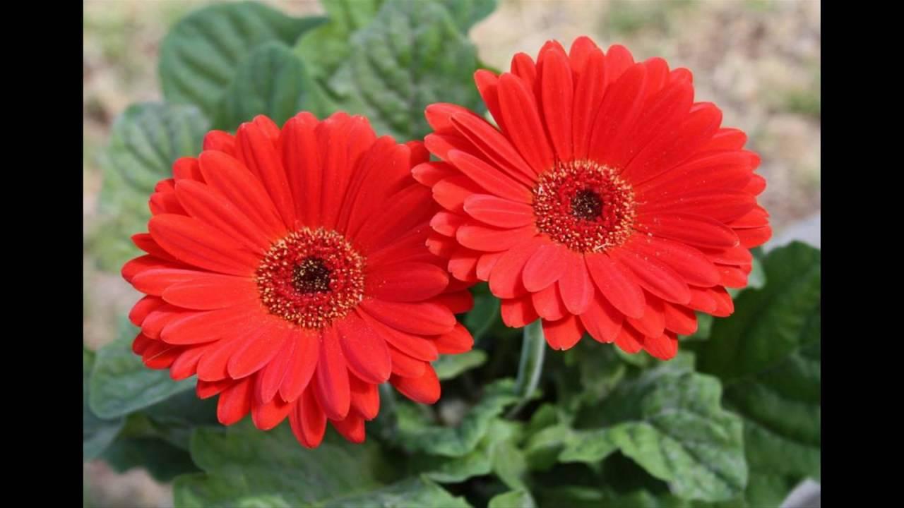 flor de gerbera sus cuidados dj kikito youtube