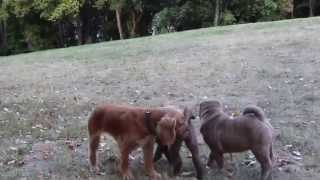 Sharpei Puppies & Cocker-spaniels