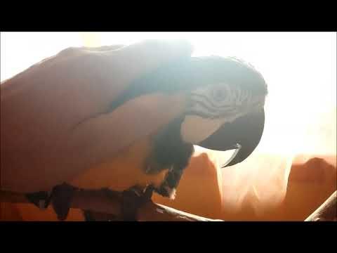Tollas TV - 2. adás: Papagájok szelidítése felnőttkorban