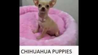 Omg, Cutest Puppies Ever, Where To Buy A Yorkie, Chihuahua, Maltese, Bichon.