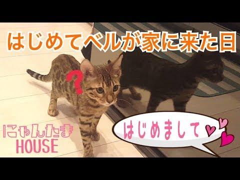 ベンガル猫のベルが家にやって来た日