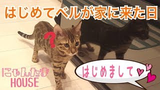 Bengal cat's bell came home