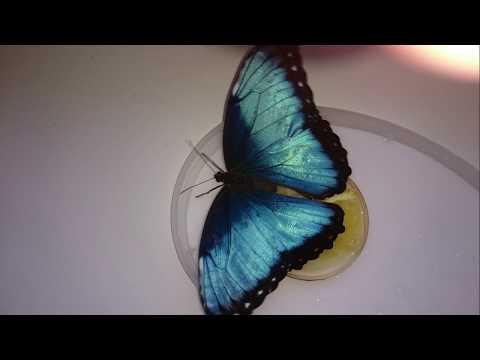 Бабочка приняла мужа за съедобные растение