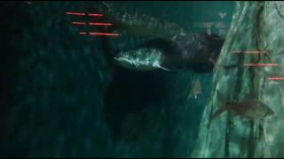 should nt miss this rarest arapaima fish in a big tank