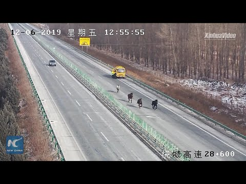 Horses run loose on expressway in Changchun, China