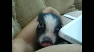Yes Micro Tcup Nano Pigs are very lovable & affectionate