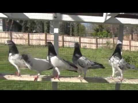 Pakistani and Indian High Flying pigeons in USA. Winner of high flying contests since last 4 years. Travel Video
