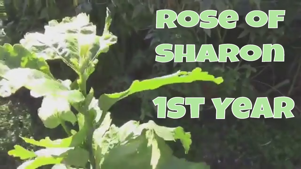 Growing Rose Of Sharon From Seed The First Year Of Growth Youtube