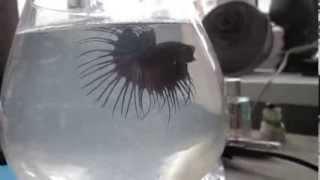 бойцовская рыбка