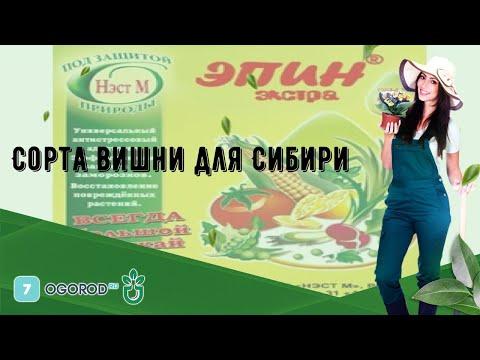 Вопрос: Когда созревает вишня на Урале?