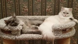 Сибирский кот и Невская маскарадная