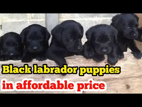 Black Labrador Puppies In Affordable Price