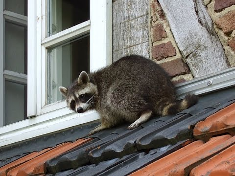 35 pound Raccoon Mom and Nest | Animal Control NJ 732-640-5488 | Skunk and Attic Inspection