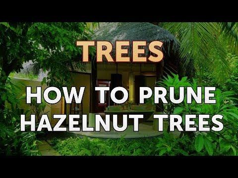How To Prune Hazelnut Trees Youtube