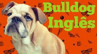 Razões para (não) ter um Bulldog Inglês