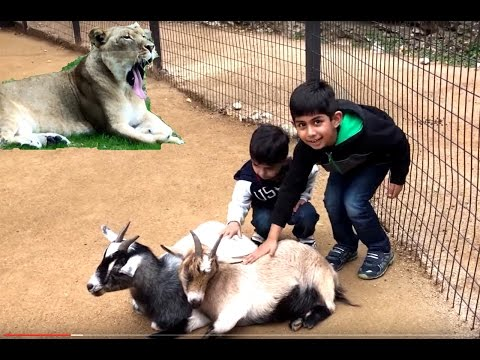 San Antonio Zoo Holiday Special Compilation /Feeding animal/Tiger Playing/Lion Yawning/Wild Animals