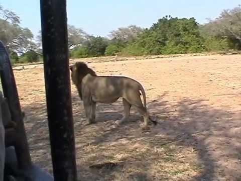 Luangwa Valley = Lions
