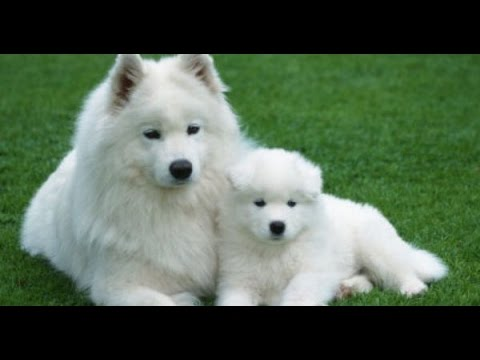 american eskimo dogs puppies