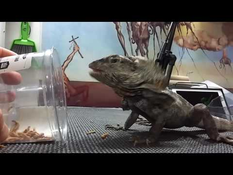 Frill-neck lizard eating