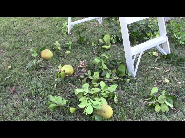 Quanh nhà ở Mỹ MVI0070: Hái bưởi và tỉa bưởi trước nhà 20161214 (Garden)
