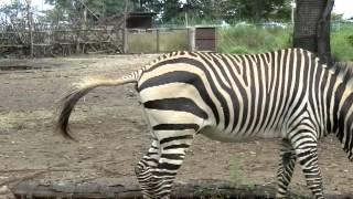 彼は、「埼玉こども動物自然公園」の「ハートマンヤマシマウマ」さんで...