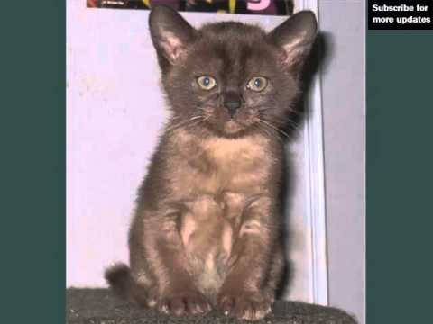 Brown Burmese Kittens | Picture Ideas Of Cats