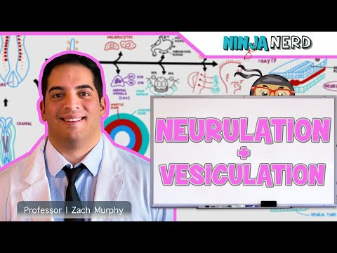 Embryology | Neurulation, Vesiculation, Neural Crest Cell Migration