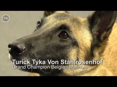 Belgian Malinois from Harrisburg headed to Westminster