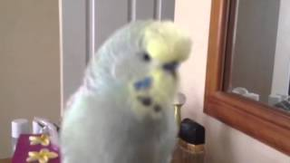 Joey, the smartest talking Budgie EVER!
