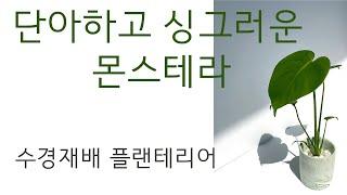 [은유의 정원] 몬스테라 수경재배 방법 플랜테리어 실내…