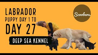 Labrador Puppies Day 1 day to 27 | Video of Deep Sea Kennel