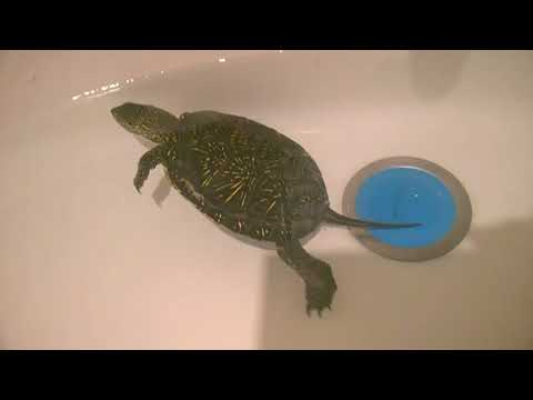 Как ухаживать за черепахой? ПРАВИЛЬНЫЙ уход за черепахой в домашних условиях.Как выбрать черепашку?