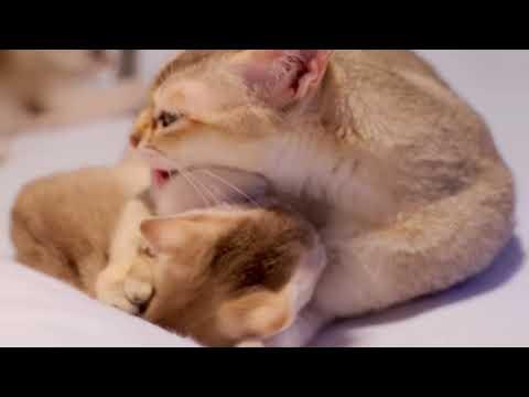 Playing with Paris singapura kitten | FunnyCat TV