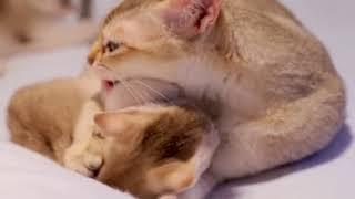 Cute Singapura Kittens for sale