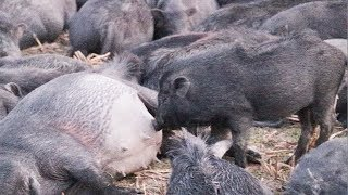 Pig Animal Awesome Mother Eating Milk So Beautiful / Pigs Animal Amazing Fighting And Running Mother