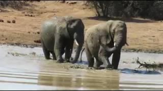 Perkawinan Gajah Di Dalam Air