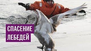 Спасение редких лебедей