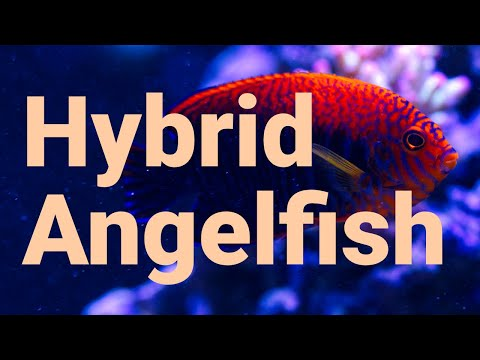 Hybrid Angelfish Are More Common On Coral Reefs Than You Think!