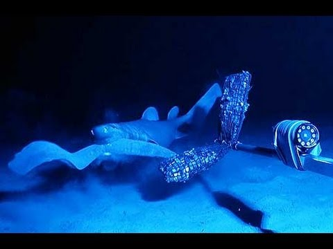 Scientists film hagfish anti-shark slime weapon