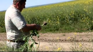 Проверка Agroprofi на рапсе