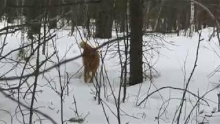 Воспитание лайки  как не потерять(Воспитание лайки. Как не потерять собаку. Лайка по природе довольно независимая собака и часто щенок на..., 2016-04-11T21:37:03.000Z)